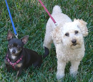 Blue Chihuahua and cream Miniature Poodle