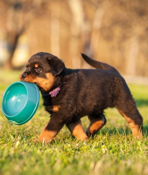 Puppy carrying his dog bowl in his mouth