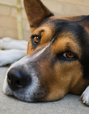 What Should I Feed My Dog With Cushing S Disease