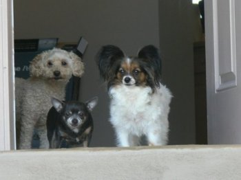 a poodle, a Papillion and a Chihuahua standing in an open doorway