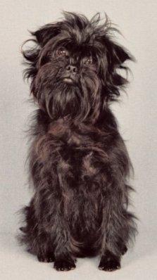 Affenpinscher Dog Breeds