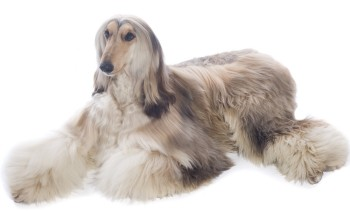 Afghan Hounds What S Good About Em What S Bad About Em