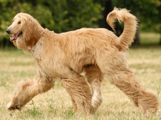 my afghan hound story question to My afghan hound story this is a very strange story of my life and it all started with my obsession with afghan hounds not so long ago i saw an afghan hound and i wanted to cry, because i wanted a dog like that very badly.