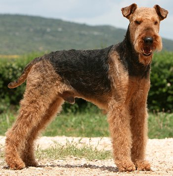 Airedale Puppies on Airedale Terrier Health Problems And Raising An Airedale Terrier Puppy
