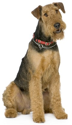 airedale terriers what s good about em what s bad about em