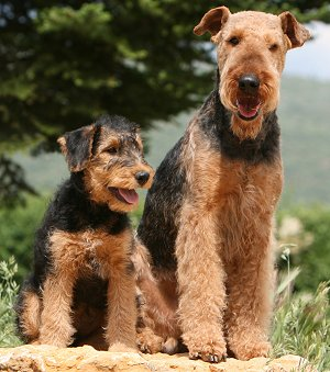 buying or adopting an airedale terrier. Black Bedroom Furniture Sets. Home Design Ideas