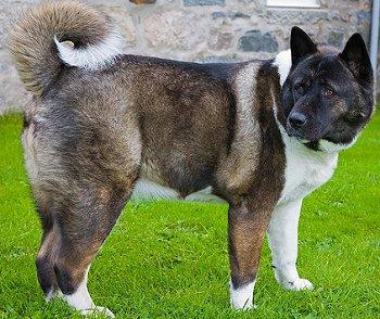 A Akita Dog Akita Inu dog breed