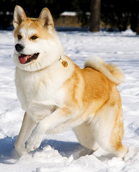 A Akita Dog Questions About Akita Dogs