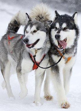 Dog Snow Siberian Husky
