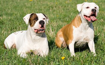 american bulldog traits american bulldog running 951