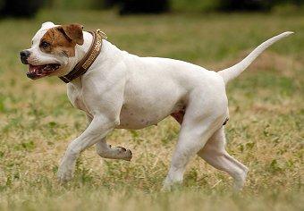 Training American Bulldogs | Sensible Dog Training