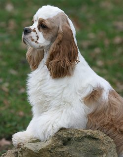 american cocker spaniel faq frequently asked questions
