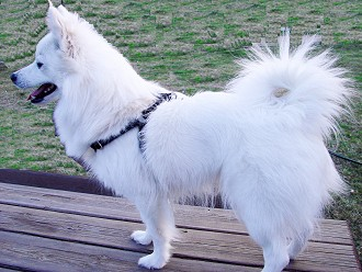 American Eskimo Dog dog breed