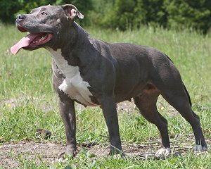 american pit bull terrier faq frequently asked questions