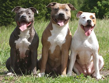 American Pit Bull Terriers Advice You Can Trust