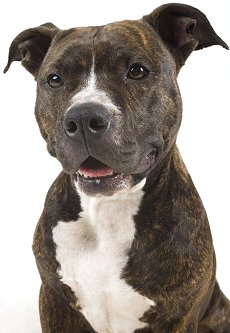 american pit bull terriers what s good and bad about pit bulls