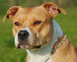AmStaff dog breed