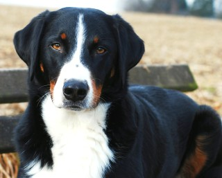 Appenzeller Mountain Dog breed