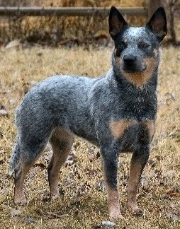 Australian Cattle Dog - Queensland Blue Heeler