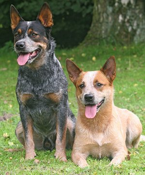 Australian Cattle Dog dog breed