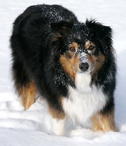 australian shepherds what s good about em what s bad