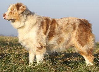 australian shepherd faq frequently asked questions