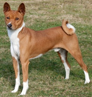 Basenjis: What's Good About 'Em? What's Bad About 'Em?