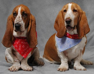 Basset Hound dog breed