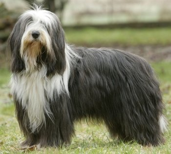 Bearded Collie Temperament Bearded Collie Coat