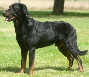 Beauceron dog breed