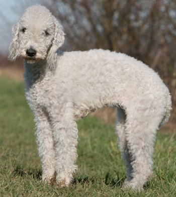 Images of a bedlington terrier