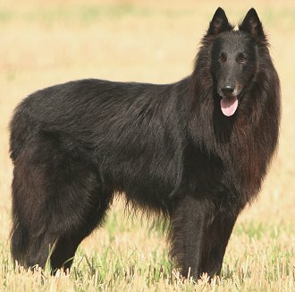 Belgian Shepherd FAQ: Frequently Asked Questions About Belgian ...