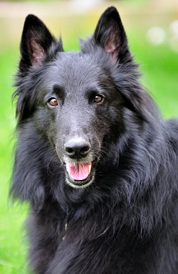 Belgian Groenendael - Sheepdog dog breed