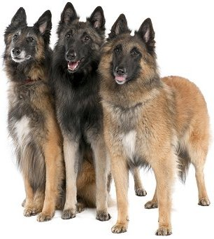 Belgian Tervuren dog breed