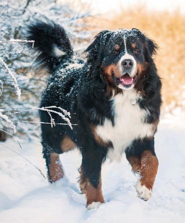 Bernese Mountain Dog Health Problems Feeding
