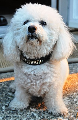 Bichon Frise FAQ: Frequently Asked Questions