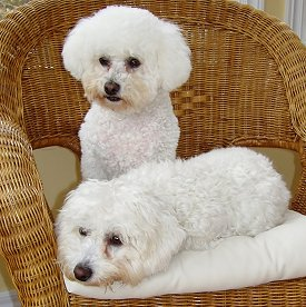 Bichon Frise: What's Good About 'Em, What's Bad About 'Em