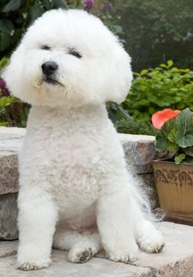 Bichon Frise dog breed