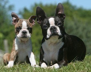 Boston Terrier dog breed