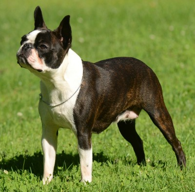 Boston Terrier Health Problems Feeding