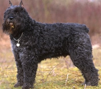 Bouvier Des Flandres Faq Frequently Asked Questions