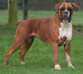 boxer dog pictures long tail
