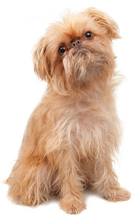 Brussels Griffon Puppies on Brussels Griffons  The Most Honest Dog Breed Review You Ll Ever Find