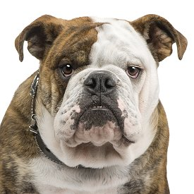 english bulldog training training english bulldogs the sensible way 7028