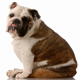 English Bulldog dog breed