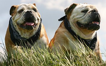 miniature english bulldog vs english bulldog miniature bulldog vs english bulldog 9729