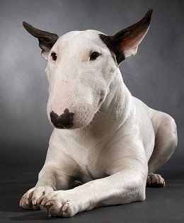 English Bull Terrier dog breed