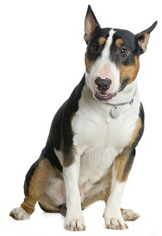 English Bull Terriers: What's Good About 'Em? What's Bad ...