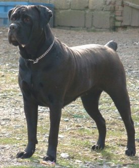 buying or adopting a cane corso