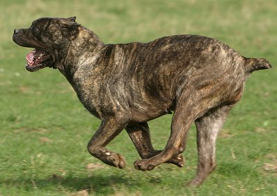 Cane Corso dog breed